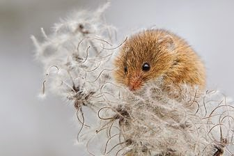 "Countryfile Photographic Competition 2014--""Harvest Mouse"""