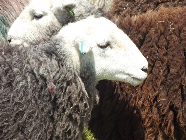 Langdale Gala 2014 Herdwick ewes