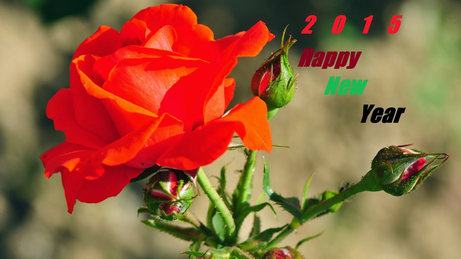 happy new year greeting red rose wallpaper