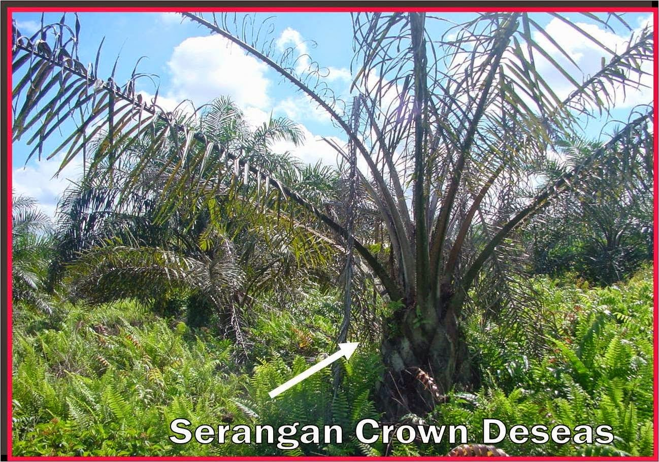 Serangan Crown Disease