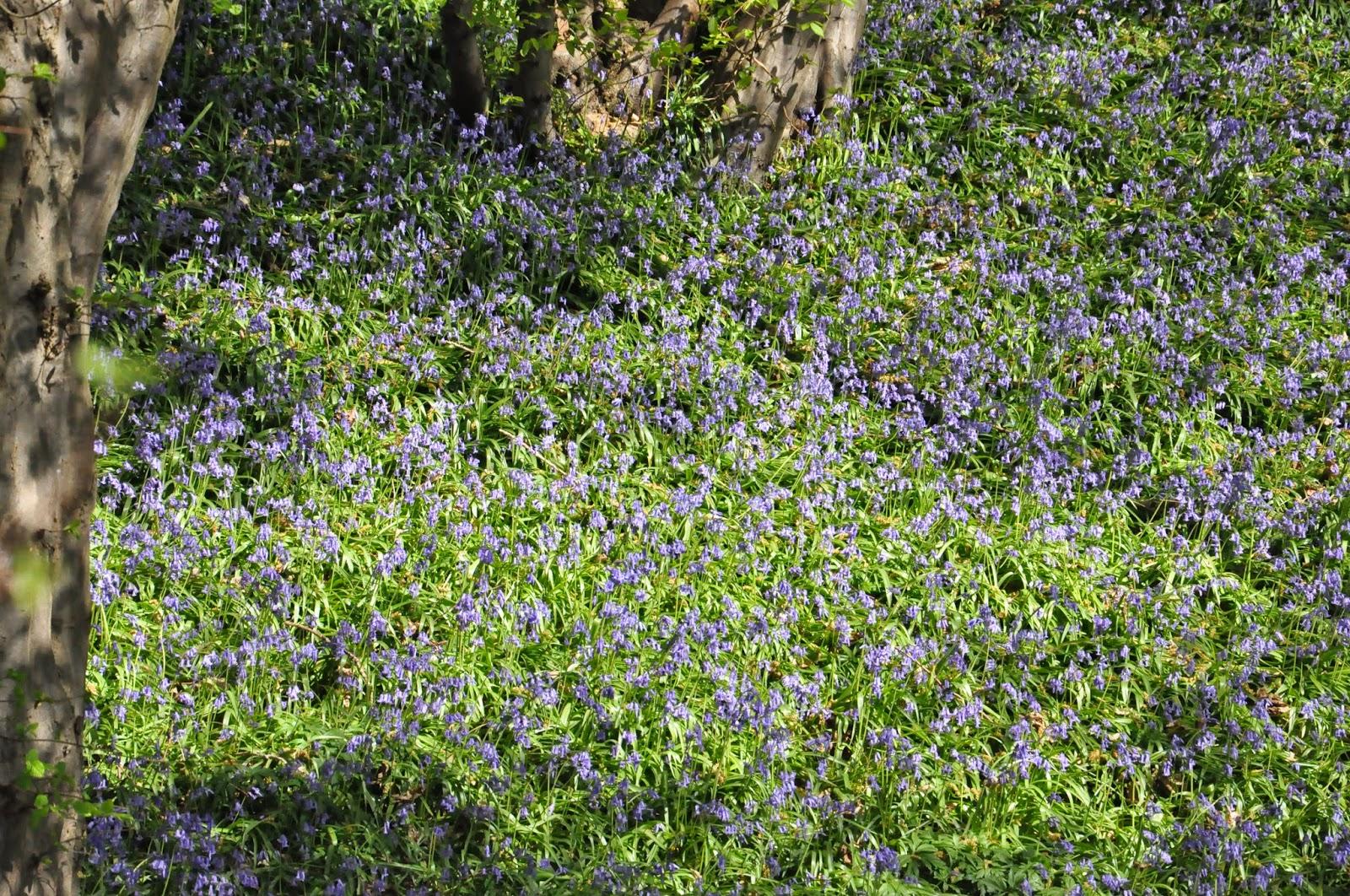 Forêt bleue, Abbaye d'Aulne, Hainaut, Belgique, une balade à découvrir sur www.sandrdulier.com
