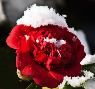 Gardening in the heart of virginia camellias how to grow for Camelia rossa