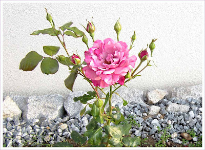 Lila - Rosane Rose