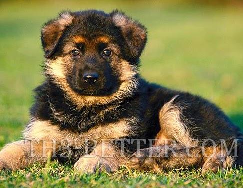 German shepherd puppies training attack