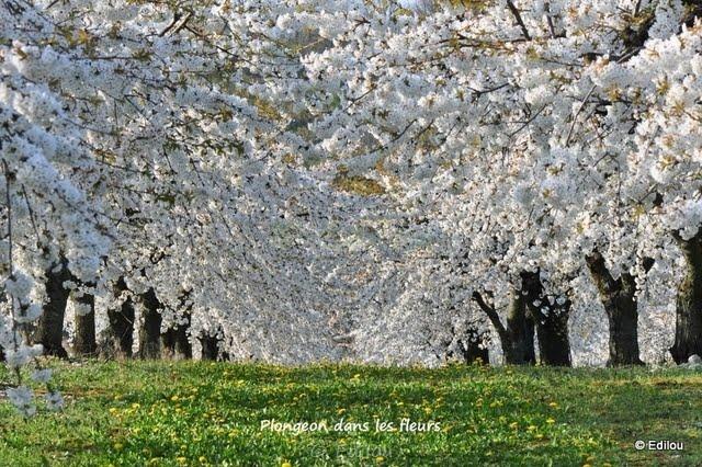 la plongée, High dive into the blossoms, ныряние в цветы
