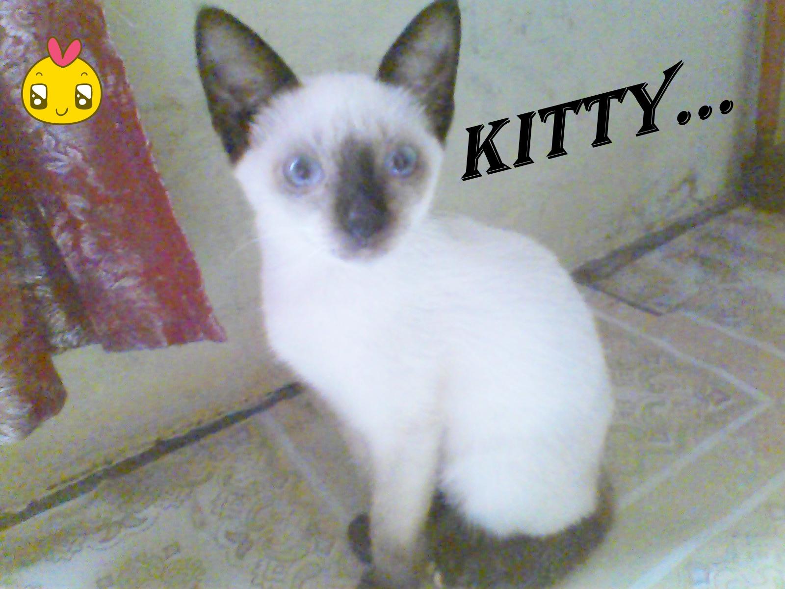 Kutulisyangkumau Kucing Siamese