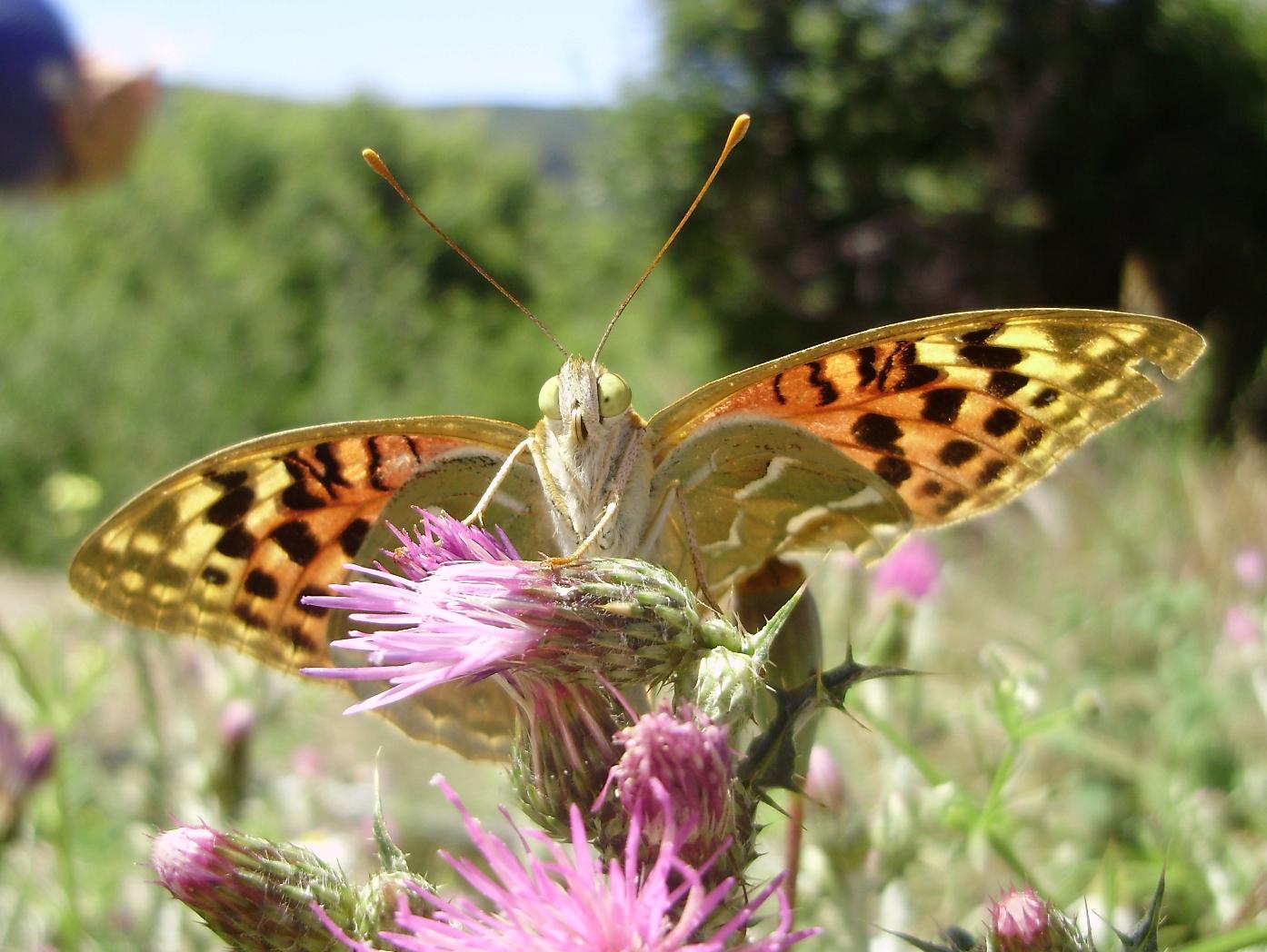 Ejemplar de la mariposa Argynnis pandora