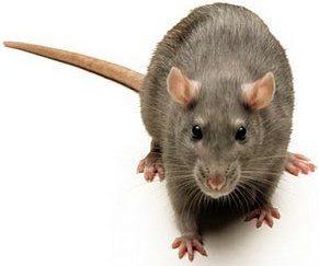 Foto de rata gris