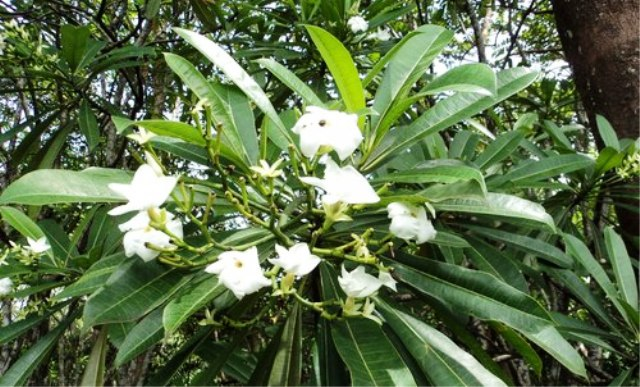 Tanaman Paling Mematikan - The Suicide Tree