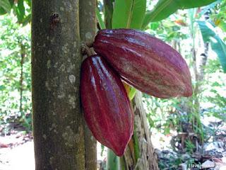 Klasifikasi dan Morfologi Tanaman Kakao (Theobroma cacao L)