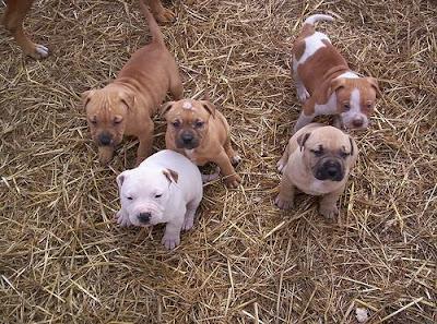 cute+baby+pitbull+puppies