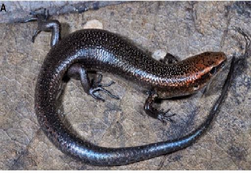 http://sciencythoughts.blogspot.co.uk/2014/01/a-new-species-of-skink-from-southern.html