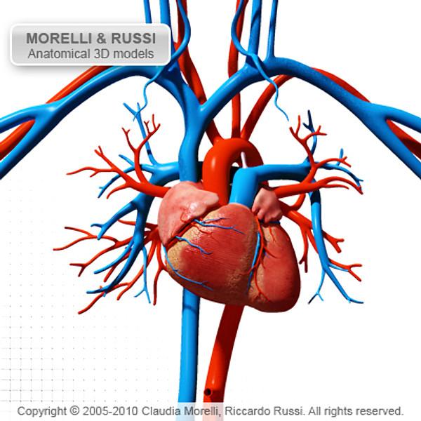 3d Cardiovascular System1