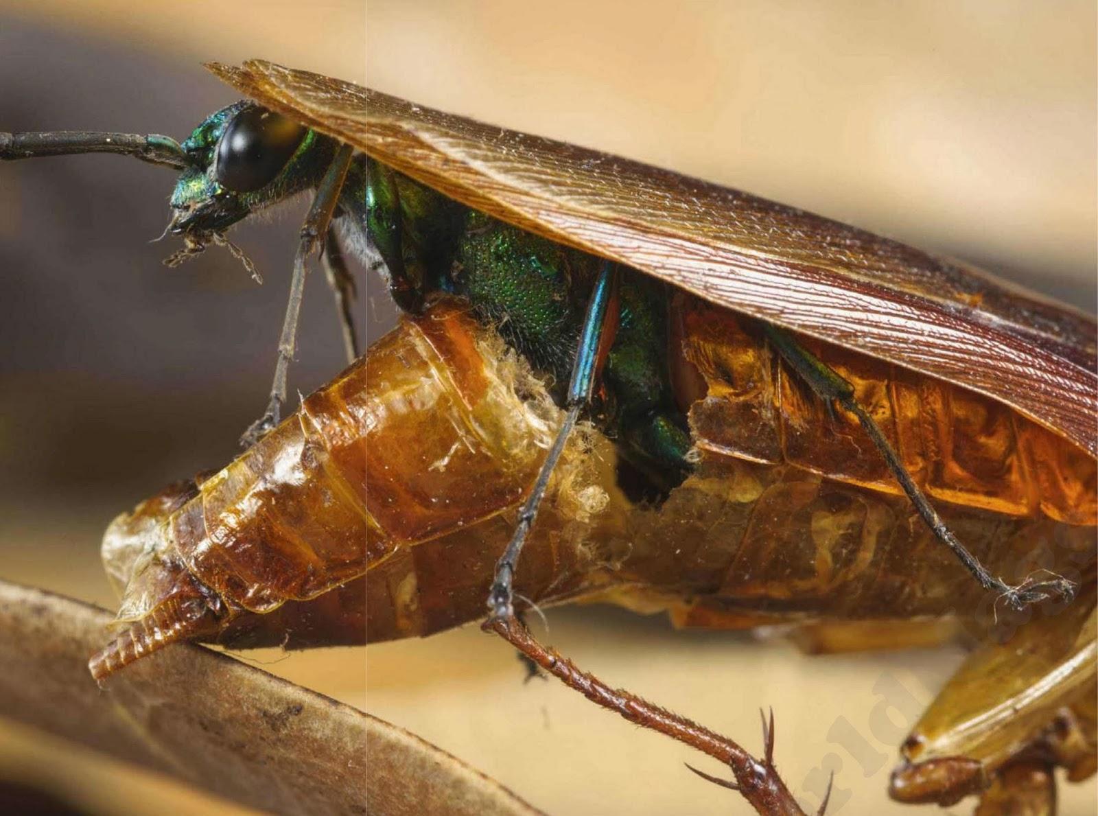 cockroach wasp