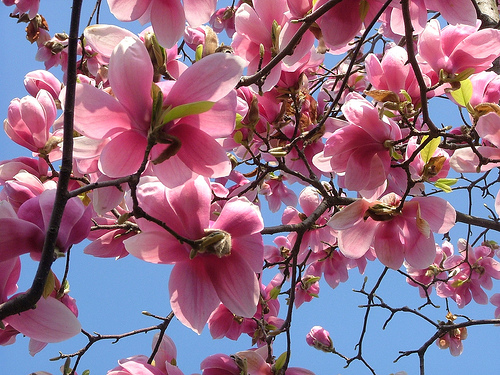 Vocaci n de jardinero magnolia - Cuidados del magnolio ...