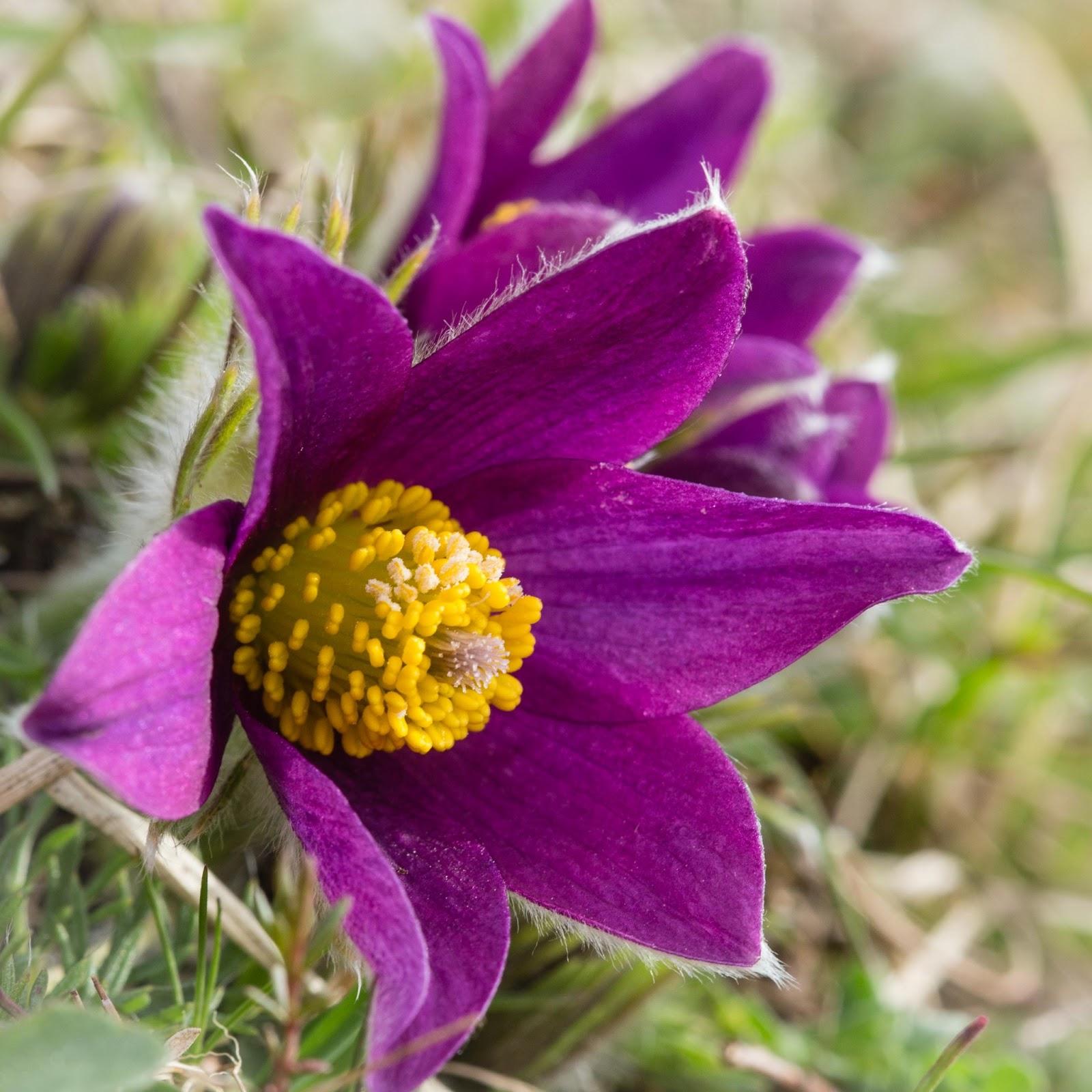 Pasque flower time again