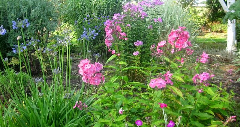 Roger Brook The No Dig Gardener How To Grow Phlox