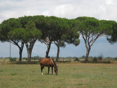 Maremma horse and pine tree in the Maremma National Park