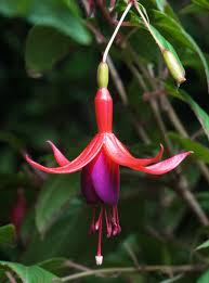 The fuschia plant, a beautiful magenta/fuschia colored flower