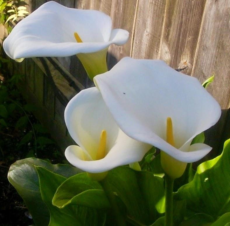 Muchas gracias a mi amiga Avelina por estas calas cortadas en su jardín