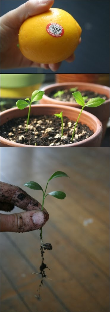 How to grow a lemon tree from seed diy craft projects Planting lemon seeds for smell
