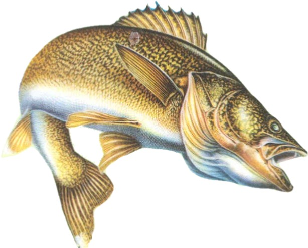walleye fishes