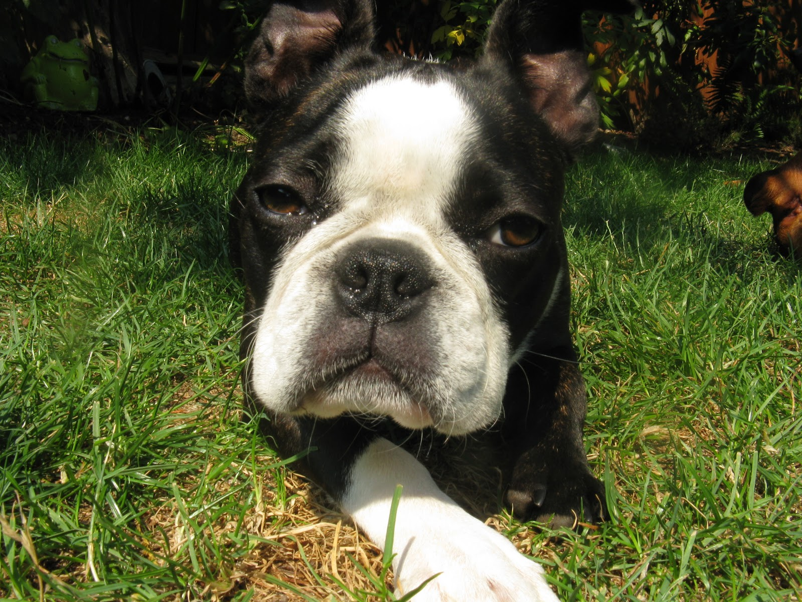 ... Dog Blog: Adorable Boston Terrier and French Bulldog Cross Needs Home