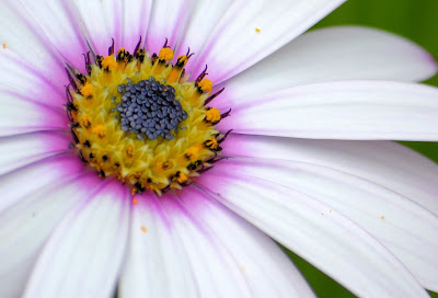 photo of the heart of a daisy by Nancy Zavada