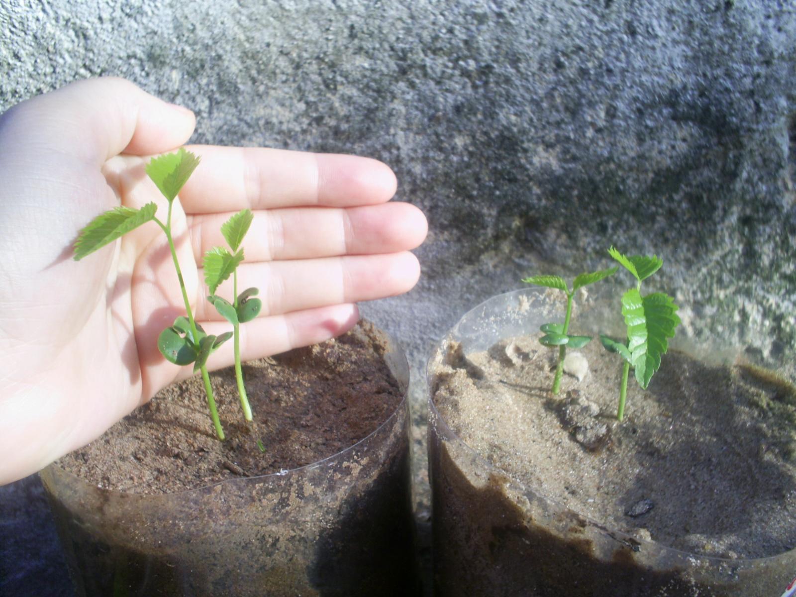 Como Plantar Sementes de Ipês Rosa,Roxo,Amarelo,Etc. 9