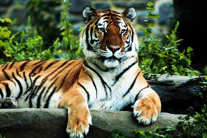 Quite simply tigers rock