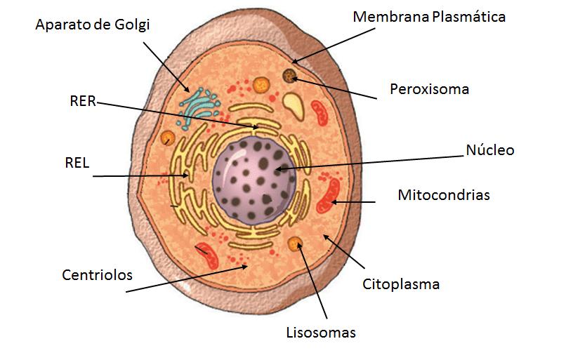Resultado de imagen de Eucariontes