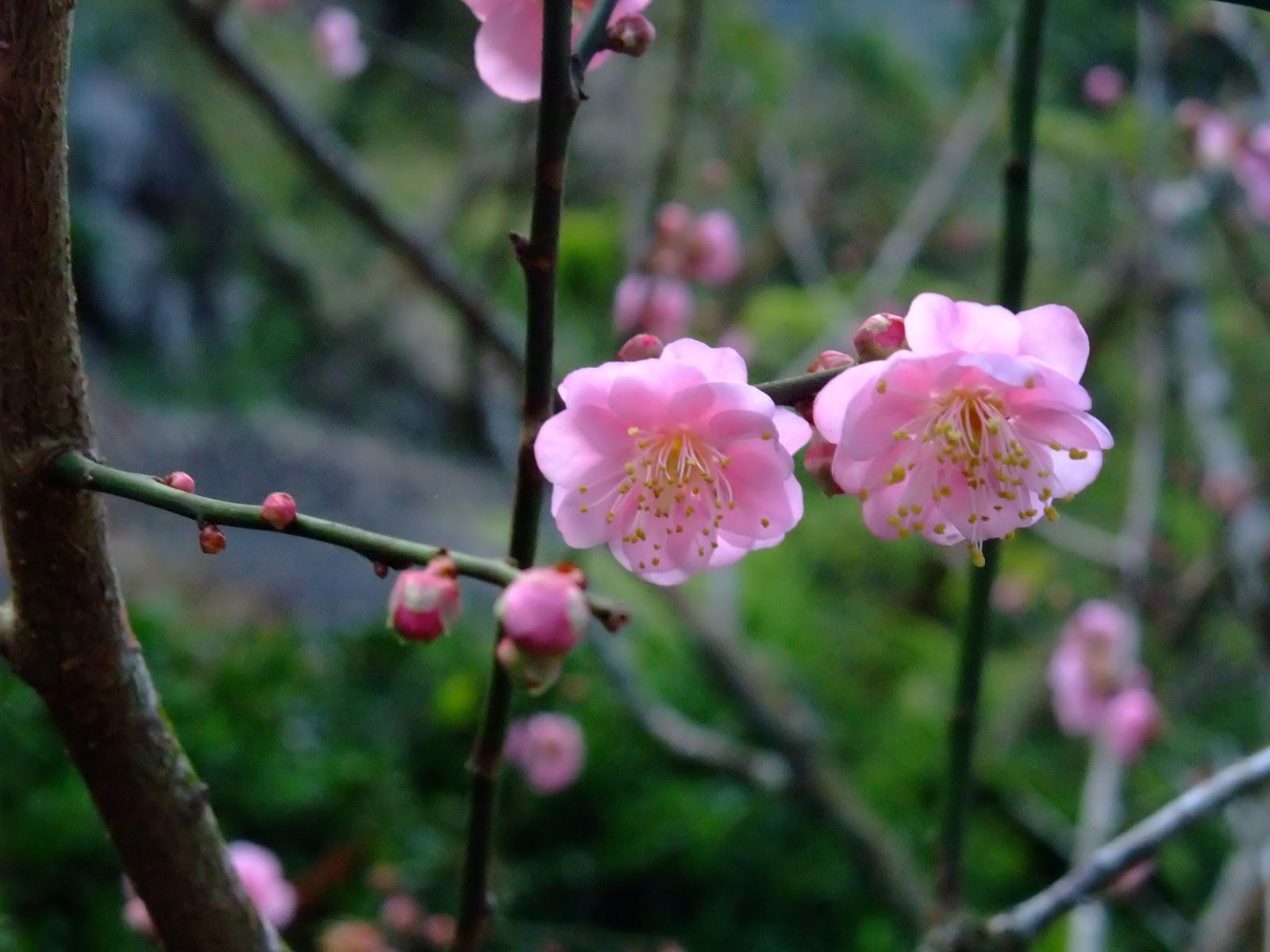 春暖花開: 紅梅 Plum Blossoms 春暖花開   紅梅 Plum Blossoms