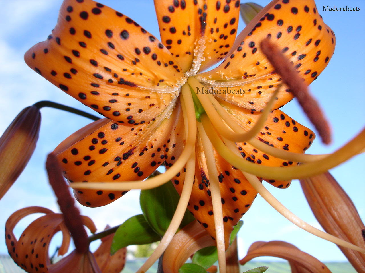 Flower images, Wide screen wallpapers,fresh flowers,Beautiful flowers,Lilium_With_Sky_Background_hd_wallpaper