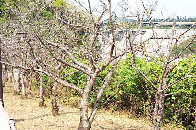 barren trees, sakura,Kin Dam, roadway