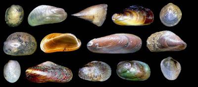 http://www.fotoconchigliemediterraneo.com/2013/01/bivalvia-2-mytilidae-pinnidae.html