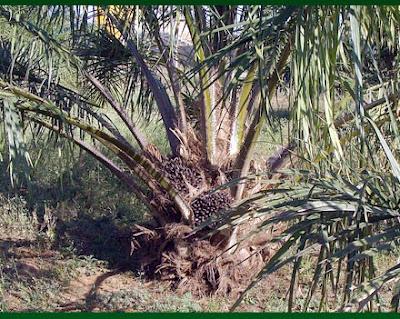 buah kelapa sawit di pohon
