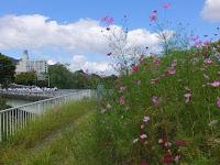 境谷大橋東にあるコスモス畑。