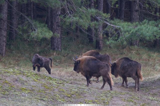 Wisent kudde - European Bison Herd - Bison bonasus