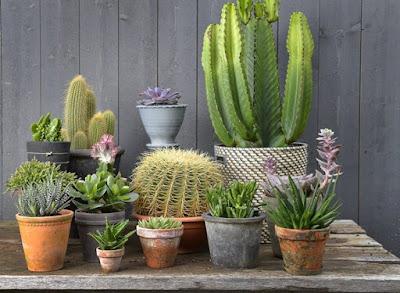 tanaman tahan panas kaktus