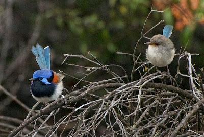 Blue-breasted Fairy-wren (Malurus pulcherrimus)
