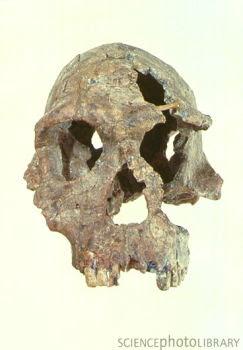 craneo del Homo habilis