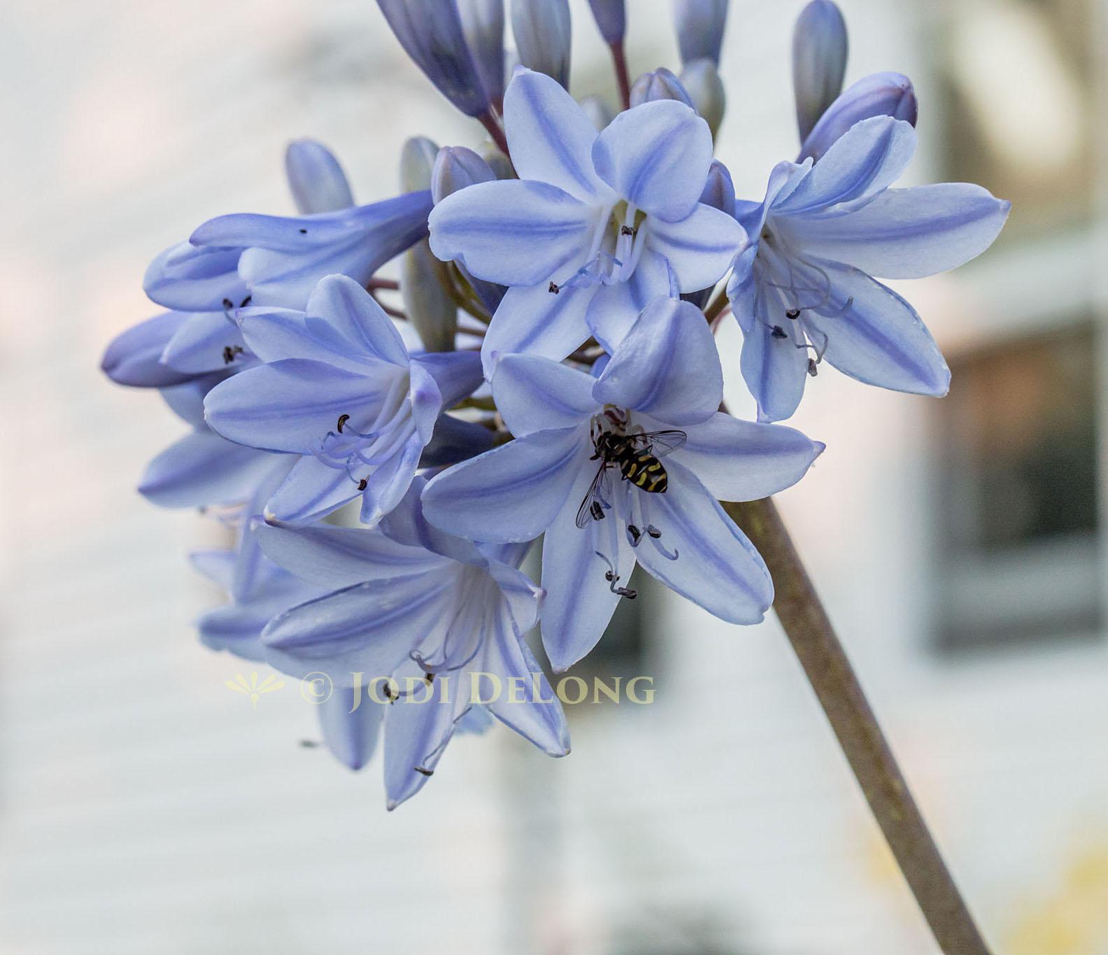 Bloomingwriter Gardening In Nova Scotia Love Is Blue