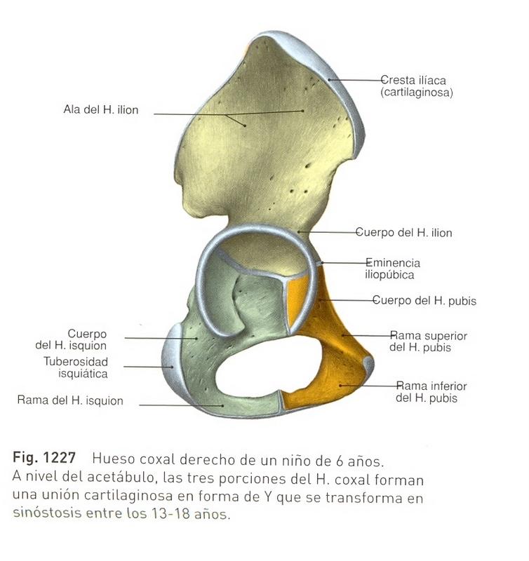 FTrapeutas: Anatomía II --> Locomotor --> Cadera