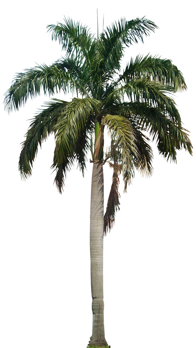 Tropical Plant Pictures: Roystonea Regia Royal Palm