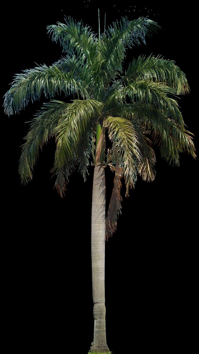 Tropical Plant Pictures: Roystonea Regia Royal Palm