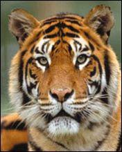 Bengalski tigar download besplatne pozadine slike za mobitele