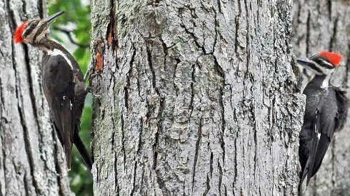 Wild birds unlimited fun facts on woodpeckers