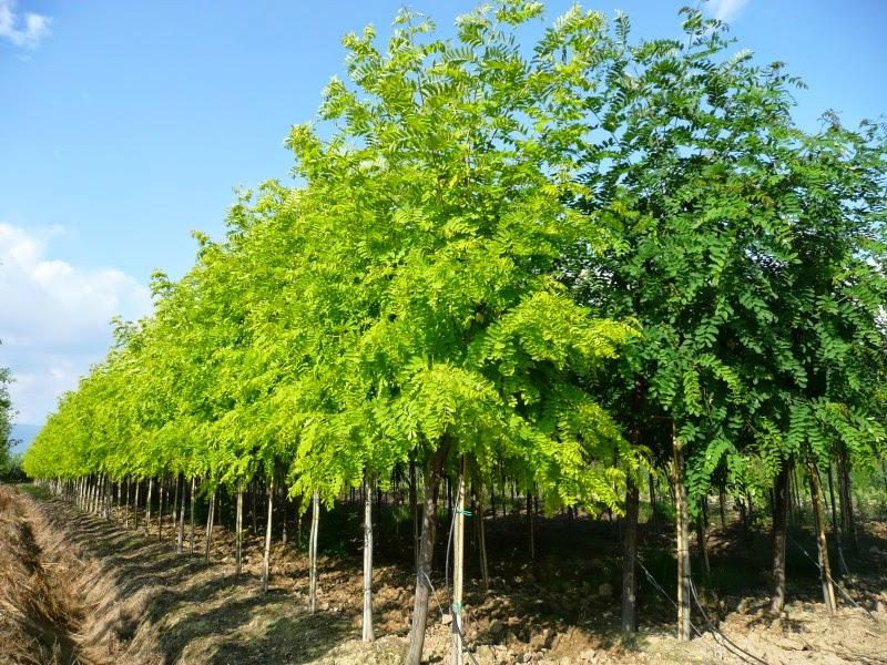 Pulitissima la robinia for Acacia albero