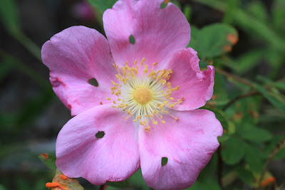 [Rosaceae] - Rosa nutkana - Nootka Rose with Holes