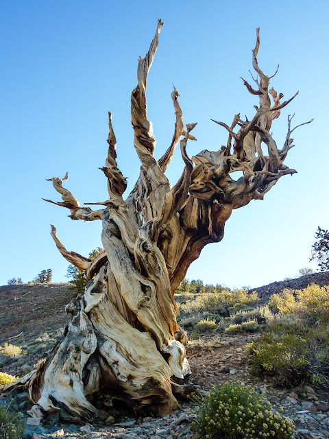 Bristlecone Pine to convert to grayscale B&W